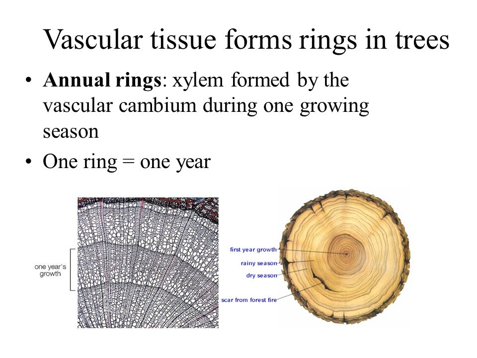 Vascular tissue forms rings in trees