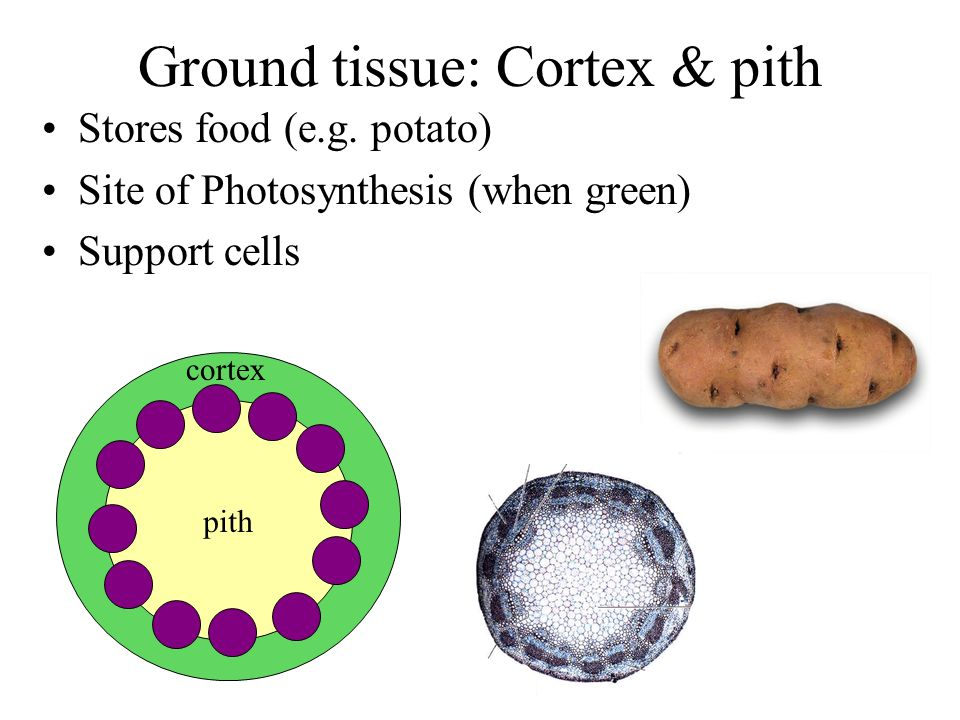 Ground tissue: Cortex & pith