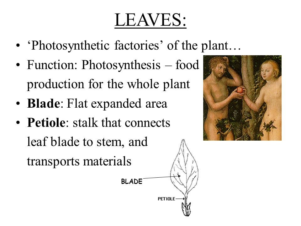 LEAVES: 'Photosynthetic factories' of the plant…