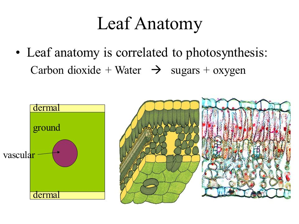 Leaf Anatomy Leaf anatomy is correlated to photosynthesis: