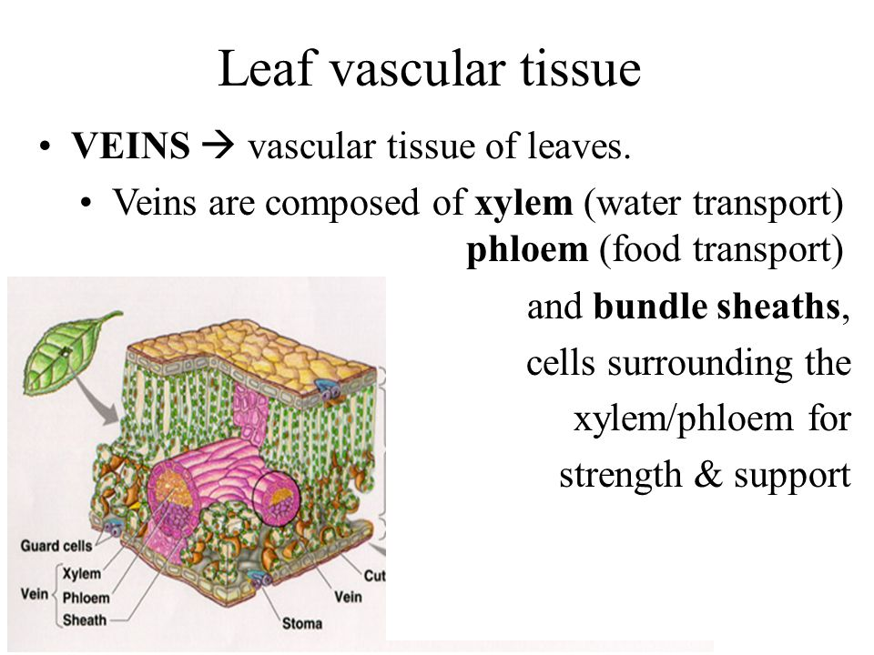 Leaf vascular tissue VEINS  vascular tissue of leaves.