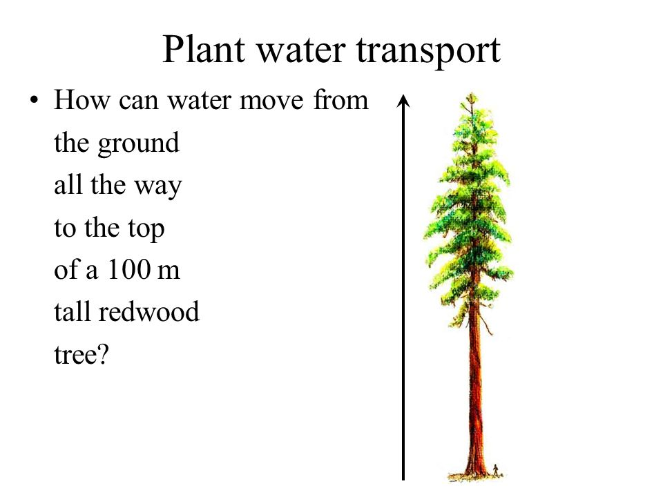Plant water transport How can water move from the ground all the way