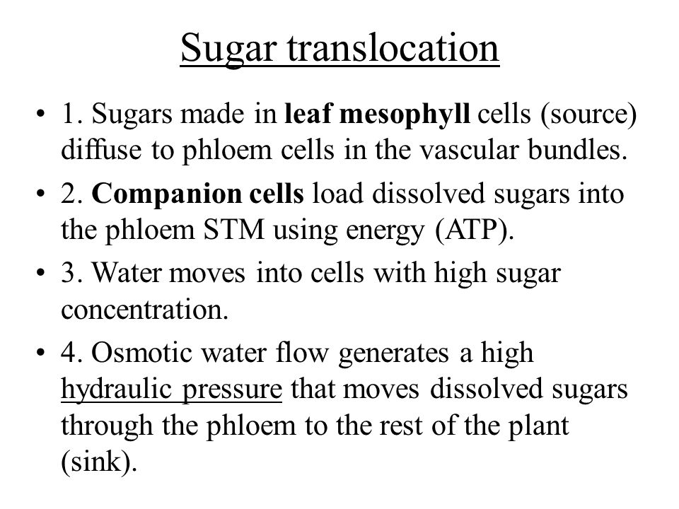 Sugar translocation 1. Sugars made in leaf mesophyll cells (source) diffuse to phloem cells in the vascular bundles.