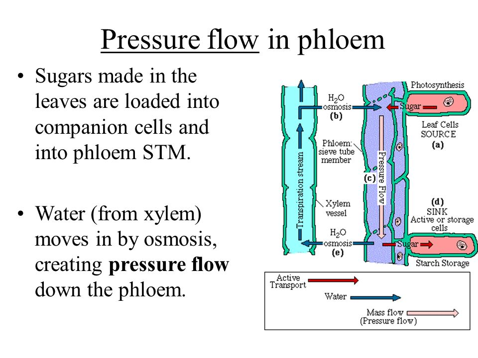 Pressure flow in phloem