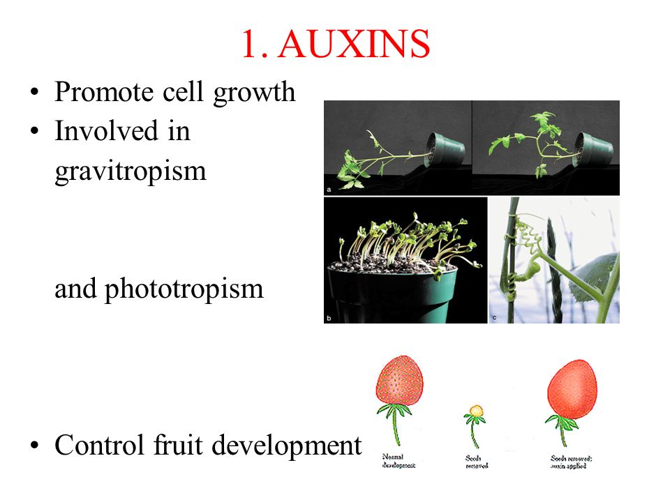 1. AUXINS Promote cell growth Involved in gravitropism
