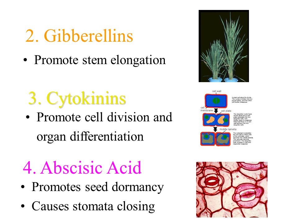 2. Gibberellins 3. Cytokinins 4. Abscisic Acid Promote stem elongation