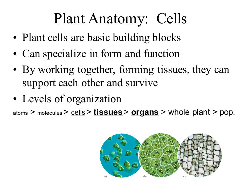 Plant Anatomy: Cells Plant cells are basic building blocks