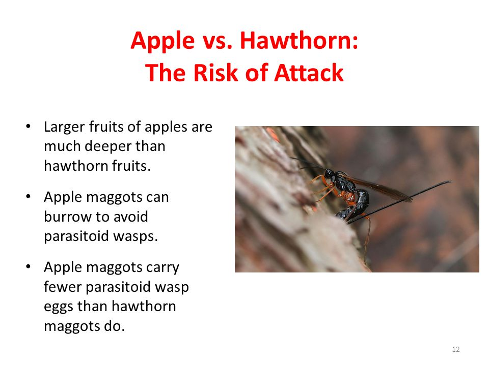 Apple vs. Hawthorn: The Risk of Attack