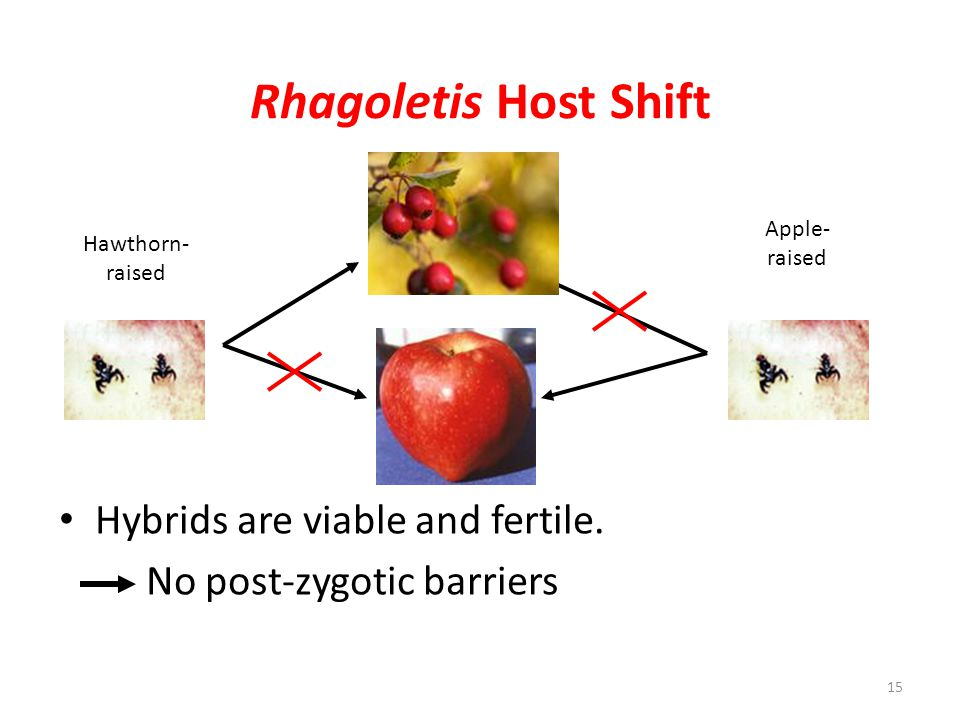 Rhagoletis Host Shift Hybrids are viable and fertile.