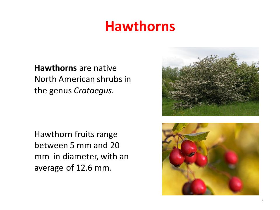 Hawthorns Hawthorns are native North American shrubs in the genus Crataegus.
