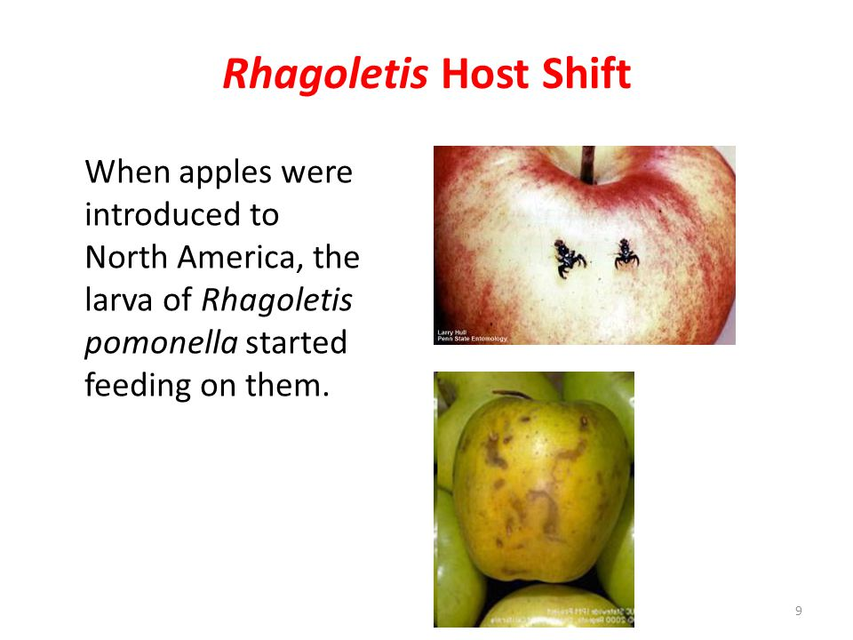 Rhagoletis Host Shift When apples were introduced to North America, the larva of Rhagoletis pomonella started feeding on them.
