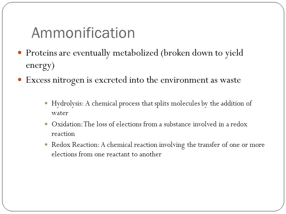 Ammonification Proteins are eventually metabolized (broken down to yield energy) Excess nitrogen is excreted into the environment as waste.