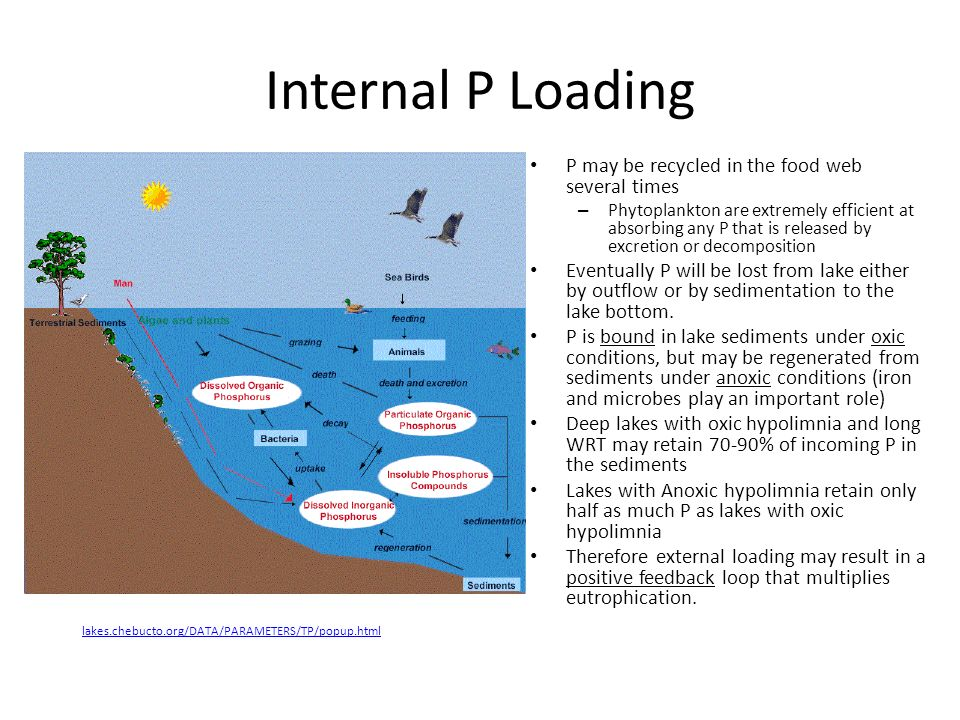 Internal P Loading P may be recycled in the food web several times