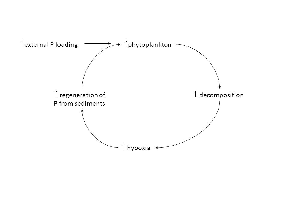 external P loading phytoplankton  regeneration of P from sediments  decomposition  hypoxia