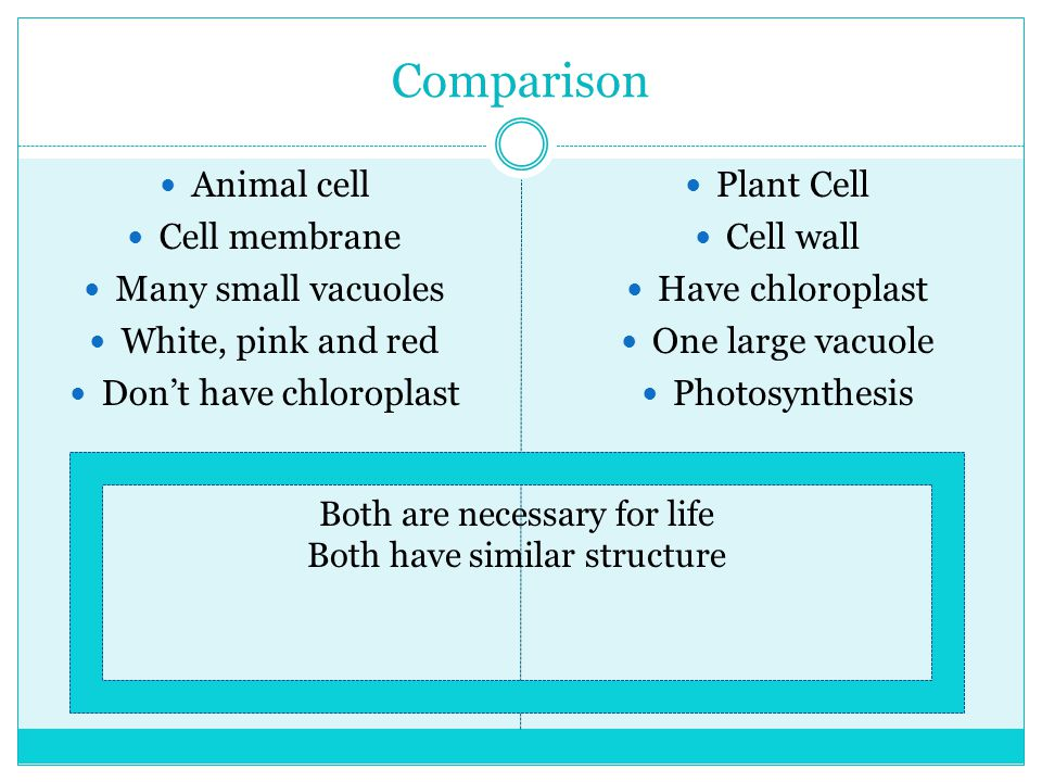 Comparison Animal cell Cell membrane Many small vacuoles