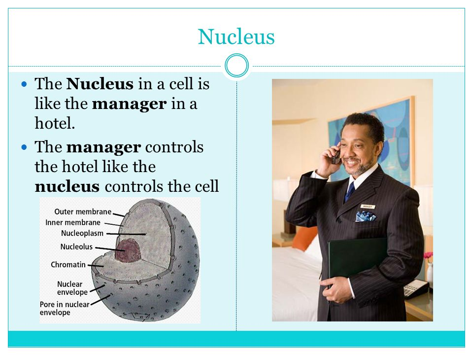 Nucleus The Nucleus in a cell is like the manager in a hotel.