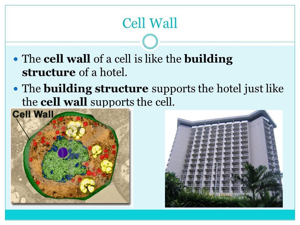 Cell Wall The cell wall of a cell is like the building structure of a hotel.