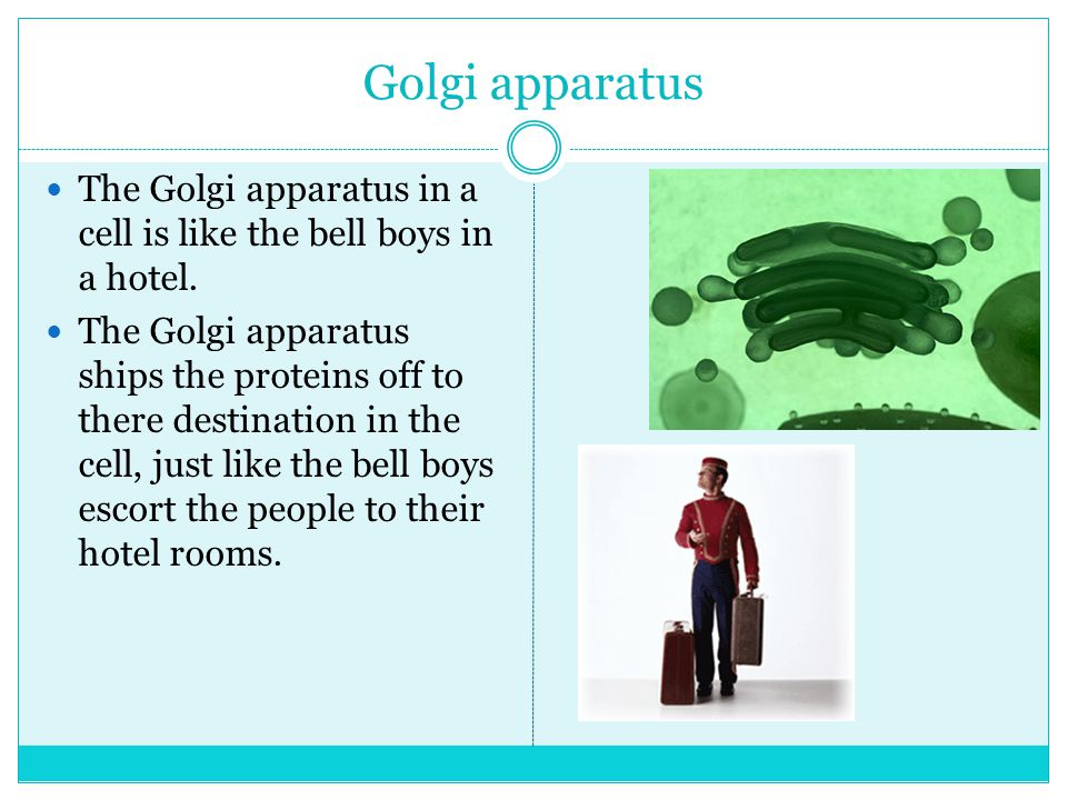 Golgi apparatus The Golgi apparatus in a cell is like the bell boys in a hotel.