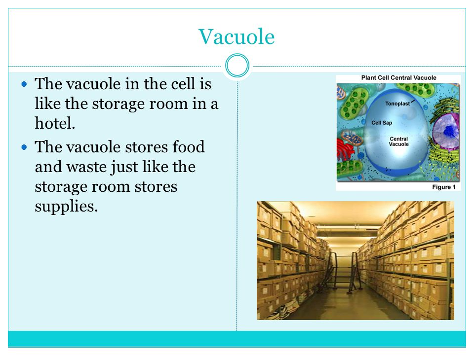 Vacuole The vacuole in the cell is like the storage room in a hotel.