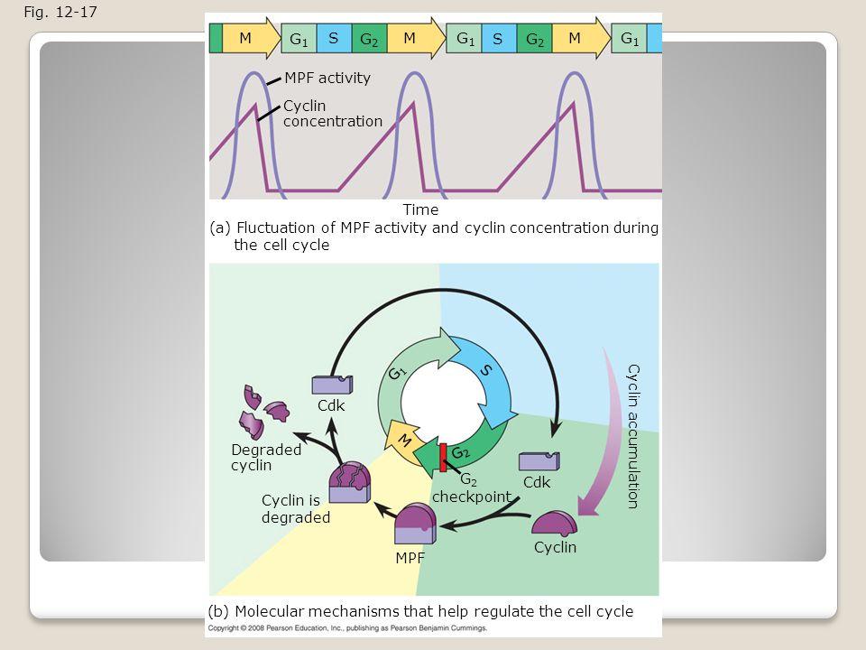 M G1 S G2 M G1 S G2 M G1 Fig. 12-17 MPF activity Cyclin concentration