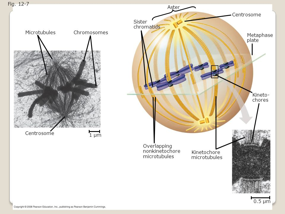 Fig. 12-7 Aster. Centrosome. Sister. chromatids. Microtubules. Chromosomes. Metaphase. plate.