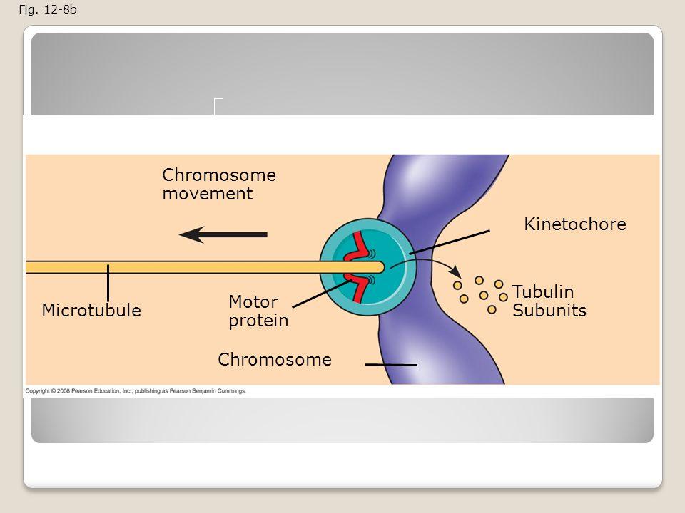 Chromosome movement Kinetochore Tubulin Subunits Motor protein