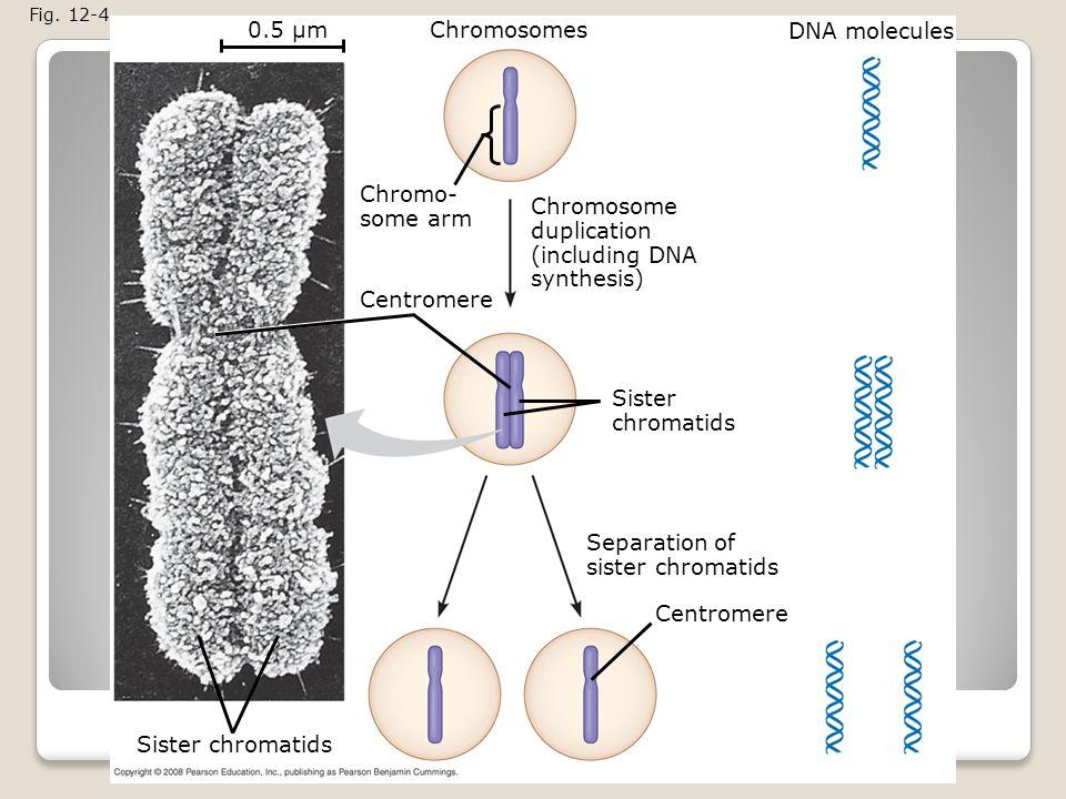0.5 µm Chromosomes DNA molecules Chromo- some arm Chromosome