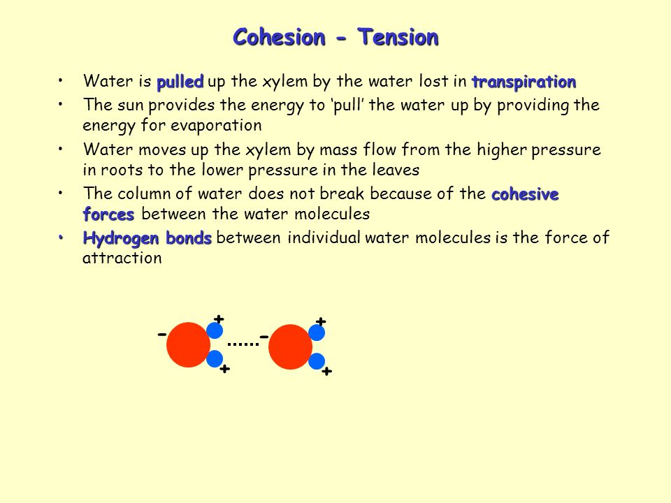 Cohesion - Tension + + - -