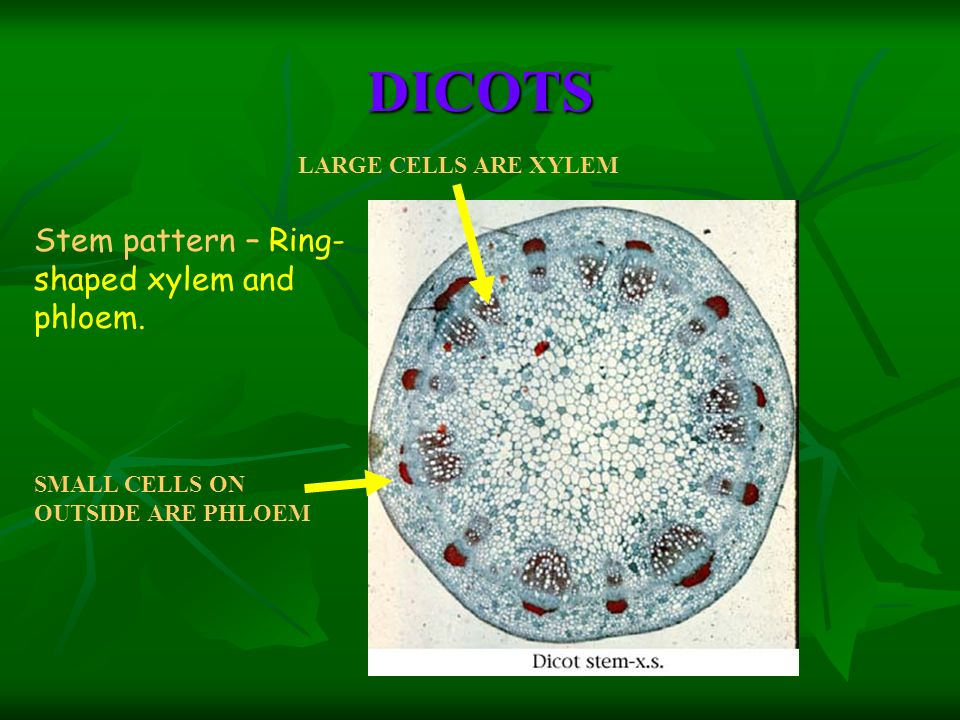 DICOTS Stem pattern – Ring-shaped xylem and phloem.