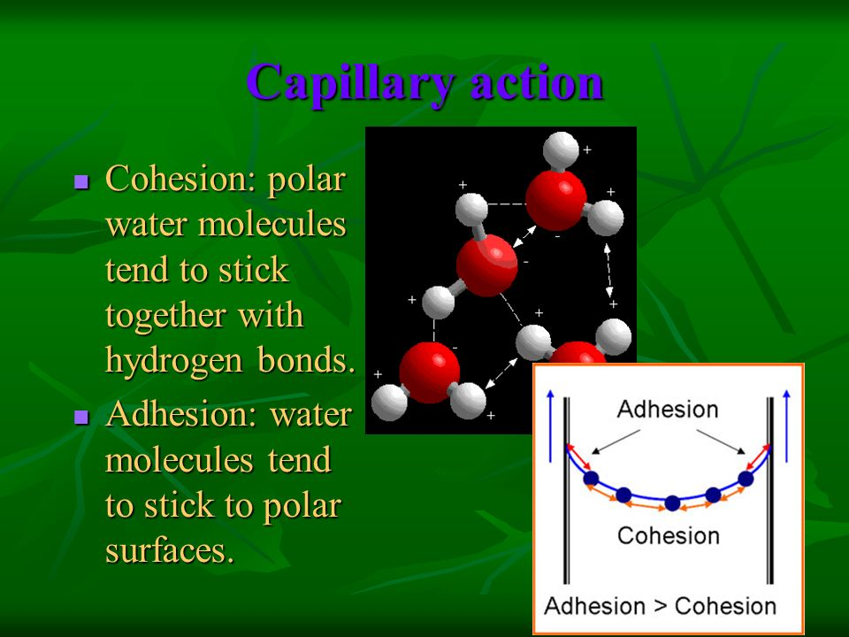 Capillary action Cohesion: polar water molecules tend to stick together with hydrogen bonds.