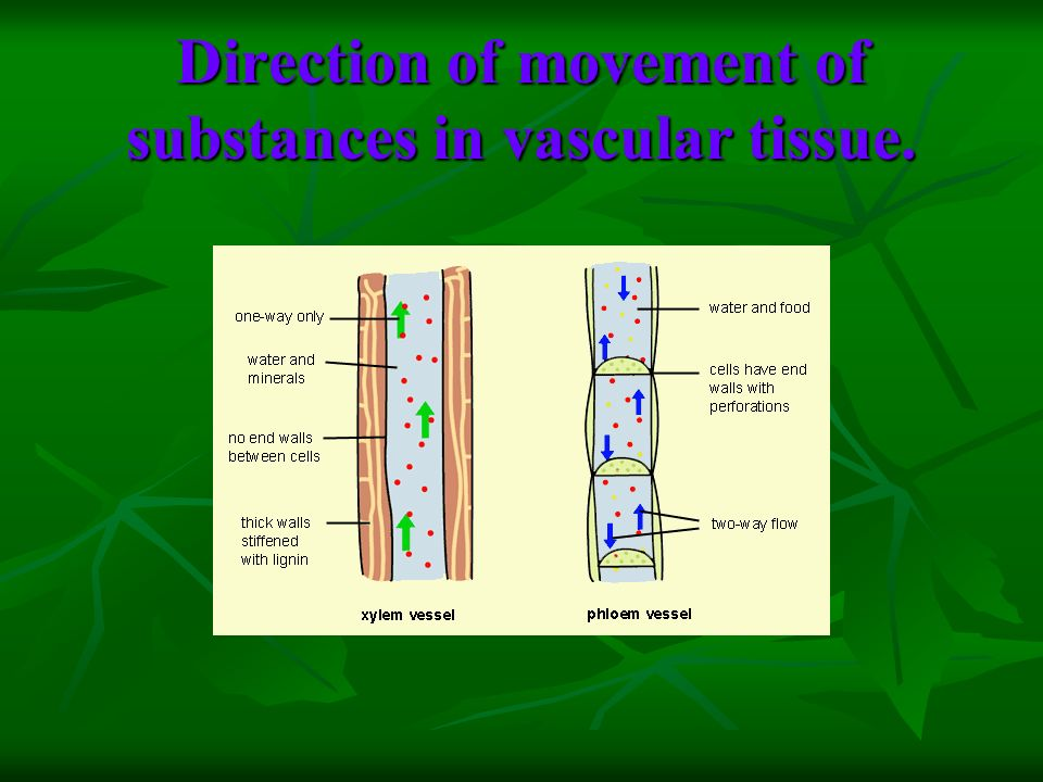 Direction of movement of substances in vascular tissue.