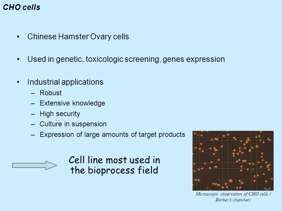 Cell line most used in the bioprocess field