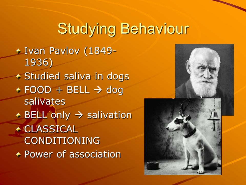 Studying Behaviour Ivan Pavlov ( ) Studied saliva in dogs
