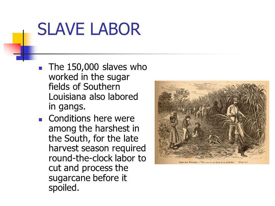 SLAVE LABORThe 150,000 slaves who worked in the sugar fields of Southern Louisiana also labored in gangs.