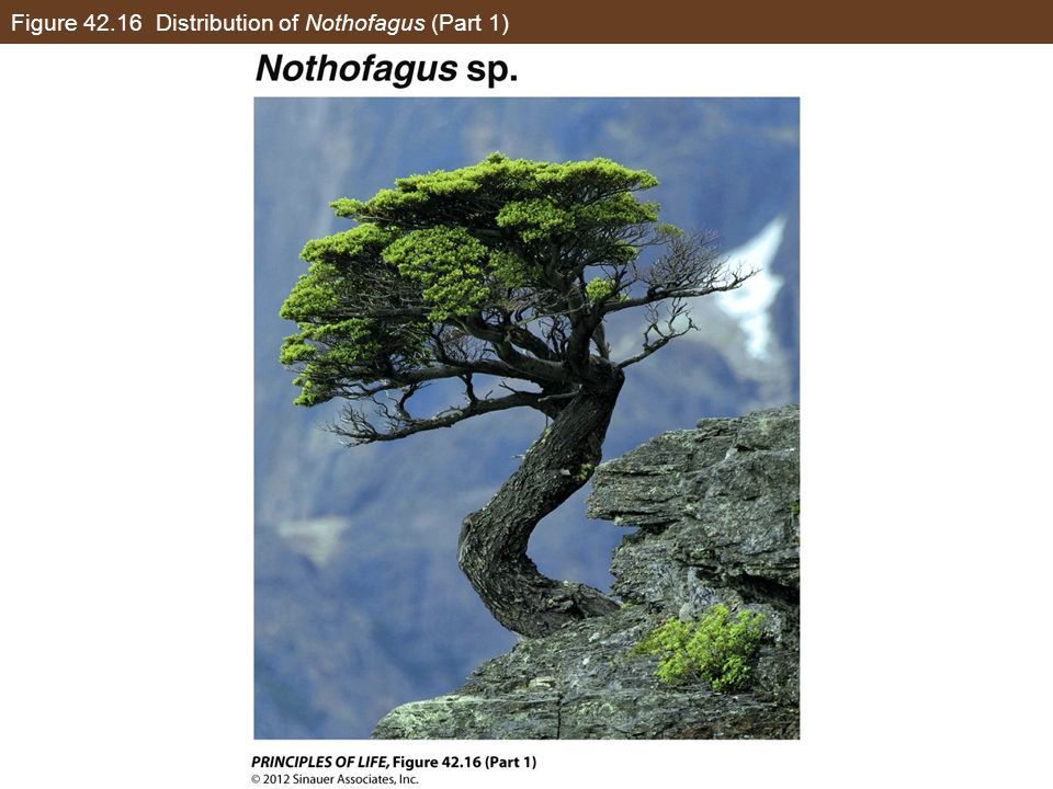 Figure Distribution of Nothofagus (Part 1)