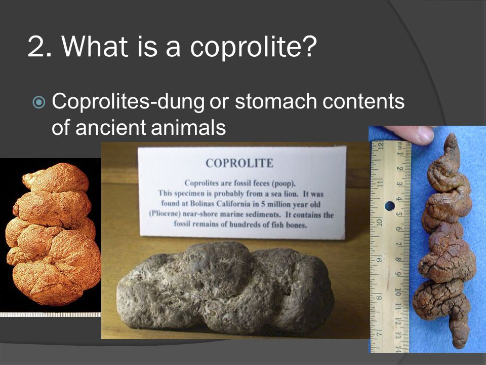 2. What is a coprolite Coprolites-dung or stomach contents of ancient animals