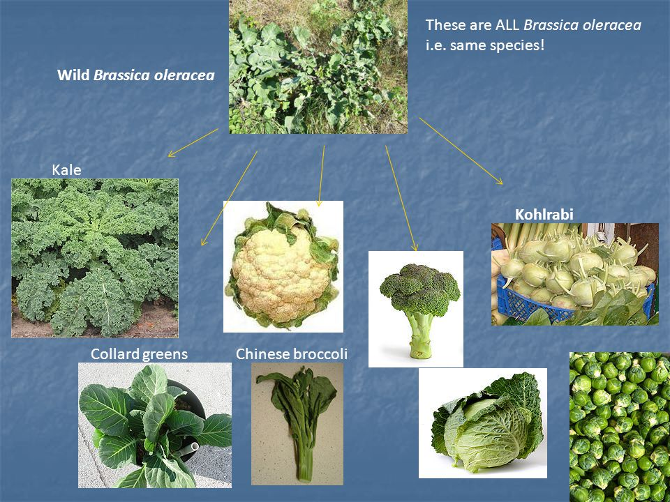 These are ALL Brassica oleracea