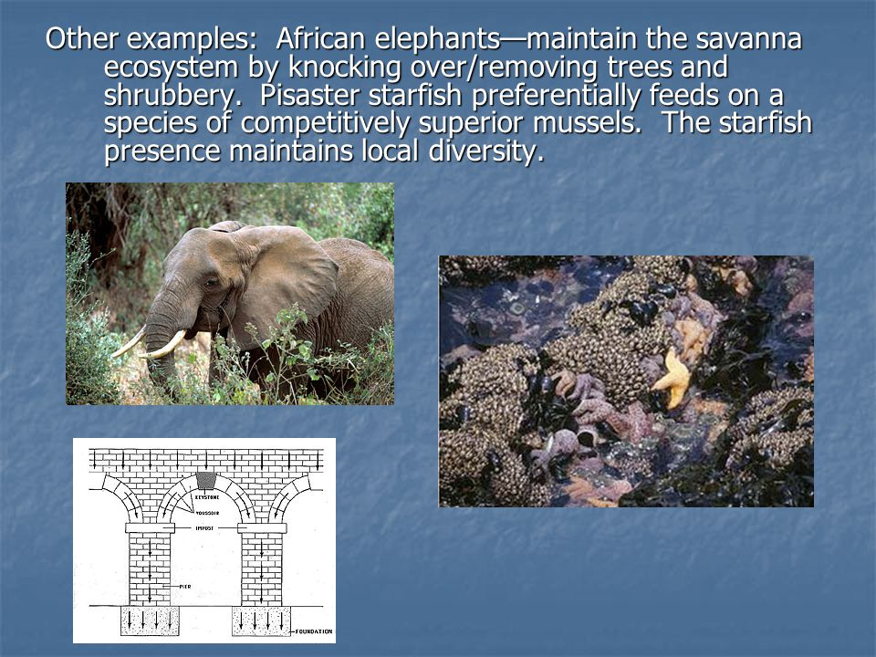 Other examples: African elephants—maintain the savanna ecosystem by knocking over/removing trees and shrubbery.