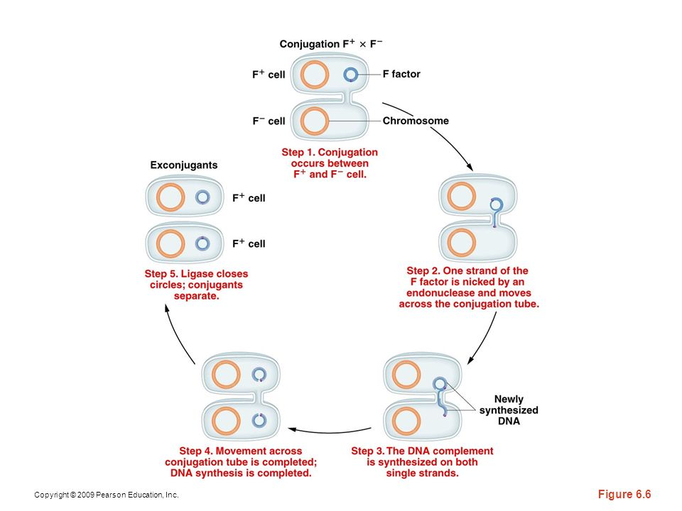 Figure 6-6 An mating, demonstrating how the recipient cell is converted to During conjugation, the DNA of the F factor is replicated with one new copy entering the recipient cell, converting it to To indicate the clockwise rotation during replication, a bar is shown on the F factor.