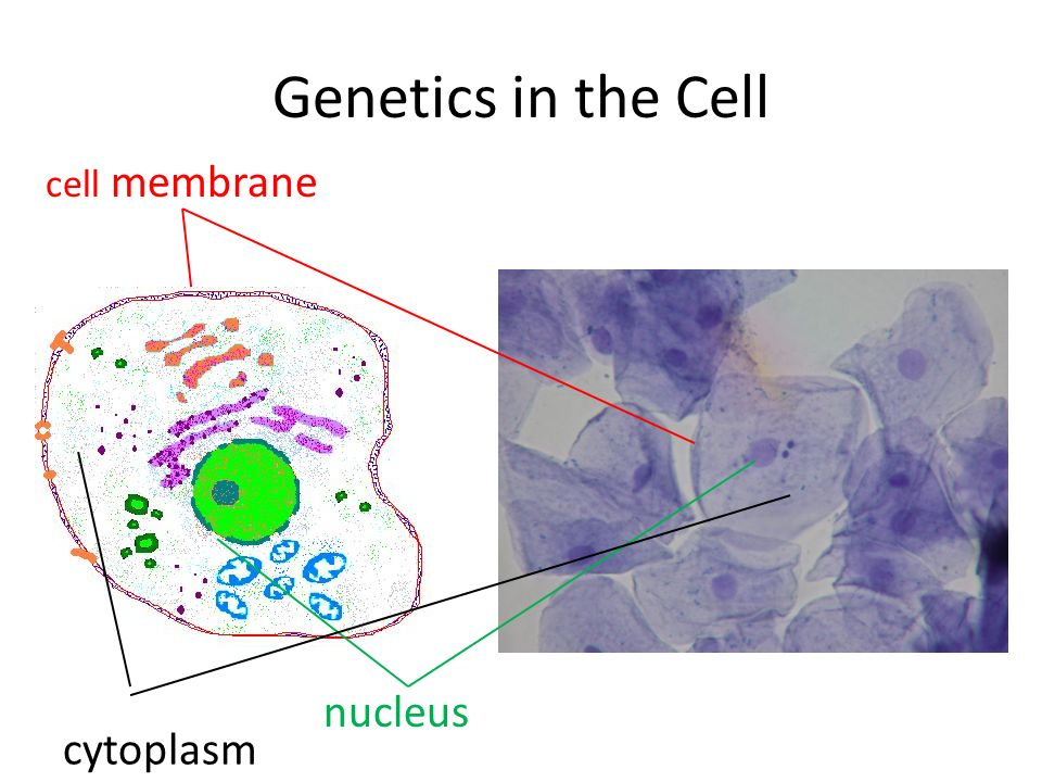 Genetics in the Cell cell membrane nucleus cytoplasm