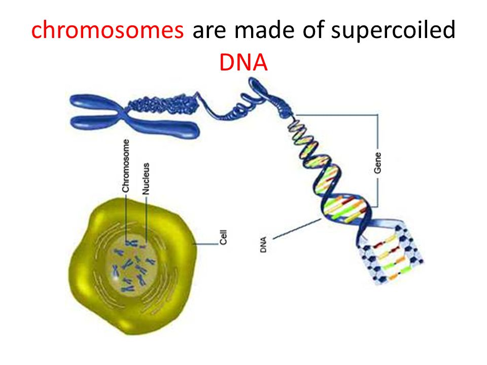 chromosomes are made of supercoiled DNA