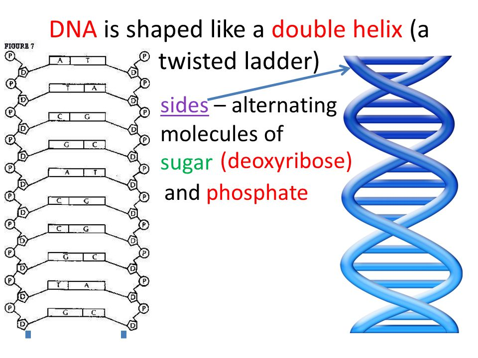 DNA is shaped like a double helix (a twisted ladder)
