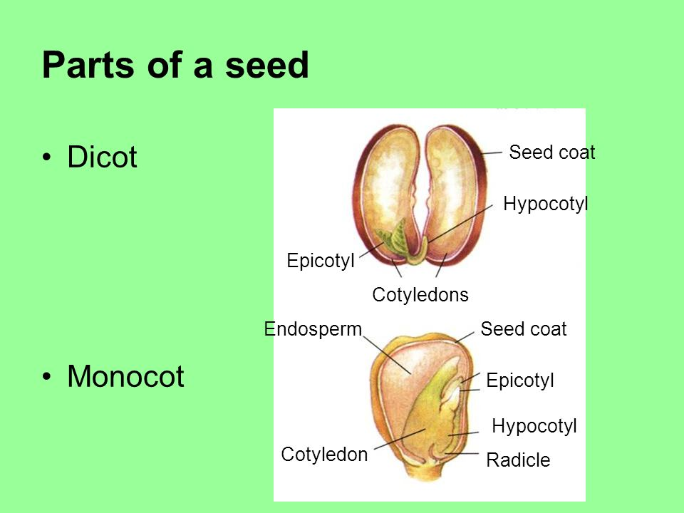 Parts of a seed Dicot Monocot Seed coat Hypocotyl Epicotyl Cotyledons