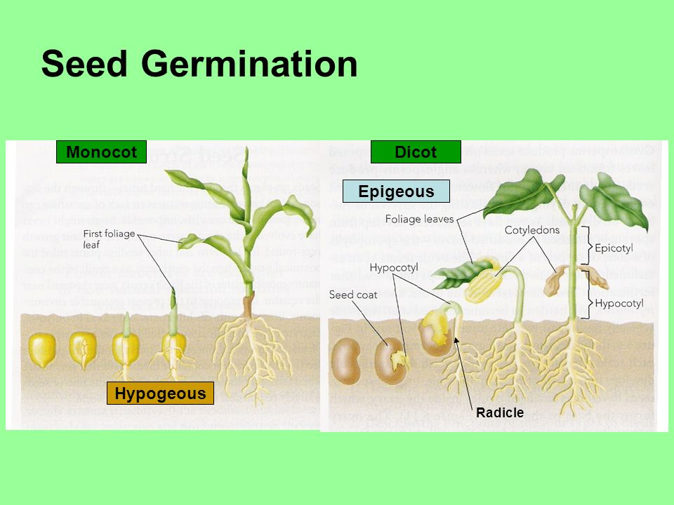Seed Germination Monocot Dicot Hypogeous Epigeous Radicle