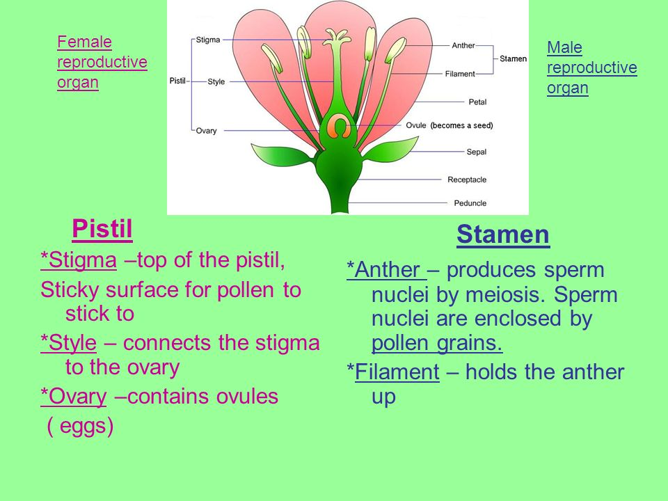 *Stigma –top of the pistil, Sticky surface for pollen to stick to