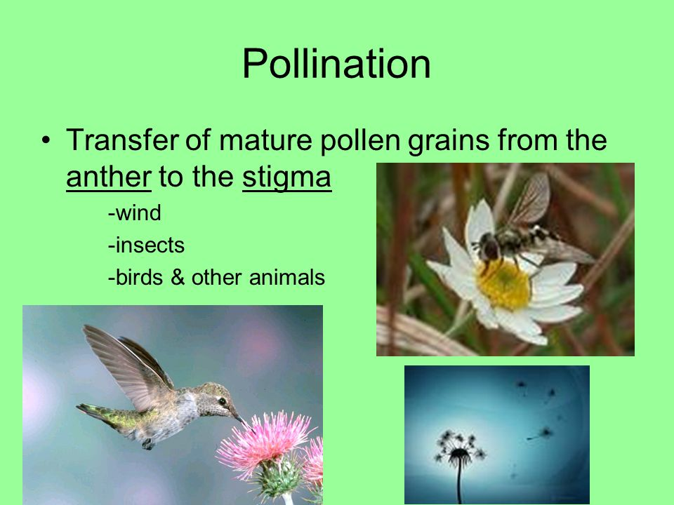 Pollination Transfer of mature pollen grains from the anther to the stigma.