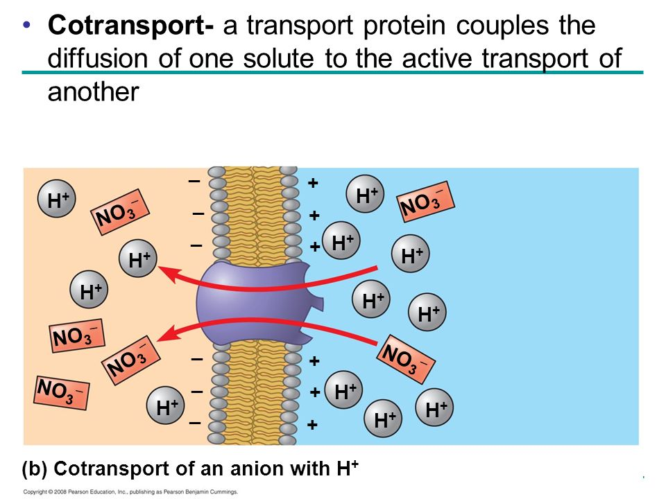 Cotransport- a transport protein couples the diffusion of one solute to the active transport of another