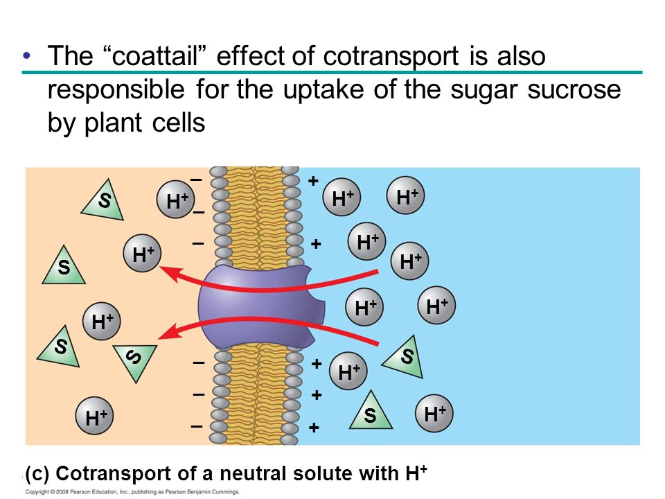 The coattail effect of cotransport is also responsible for the uptake of the sugar sucrose by plant cells