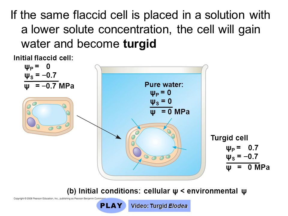 If the same flaccid cell is placed in a solution with a lower solute concentration, the cell will gain water and become turgid