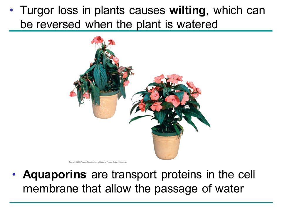 Turgor loss in plants causes wilting, which can be reversed when the plant is watered